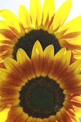 IMG_5438 (Blackavar Lion) Tags: flowers sun flower nature fleur beautiful colorful pretty bright blossom bokeh flor bee bloom lovely  blume abeja tournesol abeille girasol bij biene  bloem sonnenblume zonnebloem hymenoptera      apoidea  canonrebelxti  anthophila  2be2176f59cfac7c3f99b44a73b29c9b