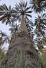 شموخ النخيل (aZ-Saudi) Tags: trees palms landscape long palm arabic oasis saudi arabia 1020mm dates ksa alhasa السعودية نخيل الاحساء نخلة arabin ِarabs