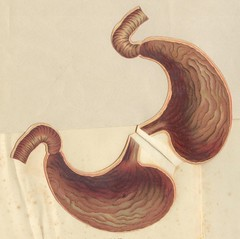 anatostomac