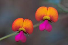primaries (dalinean) Tags: flowers red flower yellow violet sigma australia wildflowers sd10 primary westaustralia wildflowerseason