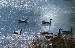 Diamonds in the lake (MyAngel 27) Tags: geese lakeestes estesparkcolorado waterstars naturewatcher natureselegantshots colorasdo