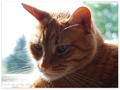 soakin' up sunshine (suesue2) Tags: orange sunshine cat bokeh tabby kitty whiskers nibbler jackscat suesue2 suefraserphotography