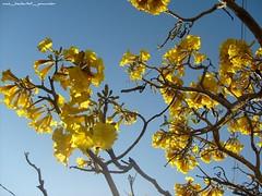 Yellow jacaranda3