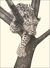 'Curious Cub' - Leopard - Fine Art Pencil Drawings  www.drawntonature.co.uk (kjhayler) Tags: pictures africa blackandwhite cats baby art nature monochrome pencil cat painting print asian zoo cub artwork artist babies natural image pics african wildlife young picture illustrations drawings images naturalhistory leopard bigcat leopardprint prints spotted cubs panthers panther bigcats leopardcub leopardskin predators wildcats wildanimals lepard leopards endangeredspecies leapord leoperd catart pencildrawings catpictures africanwildlife catphotos wildlifephotography rawing spottedcats leapords picturesofcats babyleopard lepards leopardcubs leopardpicture leopardsafrican picturesofleopards endangeredleopards picturesleopards animalleopards pantherphotos leopardpictures photosofleopards leopardphotos picturesofpanthers leoperds babyleopards pantherpictures