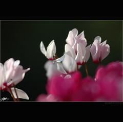 smearing colors/sbavando colori (guido ranieri da re: work wins, always off) Tags: flower colors nikon fiore colori indianajones homeshots ciclamini nonsonoglianniamoresonoichilometri guidoranieridare