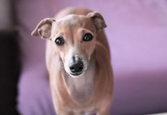 Sweet for a second... (Dada Mar) Tags: portrait dog greyhound cute 50mm eyes dof violet explore italiangreyhound ig emka catchlight iaminhereyes