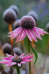 The first frost will kill you (guybamboe) Tags: nikon frost echinacea herfst koud d300 purpurea echinaceapurpurea firstfrost guybamboe winteriscomming eerstevorst