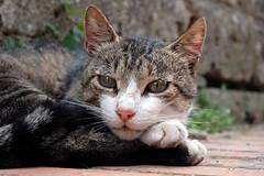 Gatta (enrico guidi) Tags: portrait cats white cat pose eyes funny floor watching relaxing posing occhi tuscany curious toscana saturnia curiosity gatto grosseto catseye maremma sovana lookingat enricoguidi
