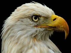 Bald Eagle (riclane) Tags: bird zoo intense eagle fierce head baldeagle american lowryparkzoo mywinners abigfave