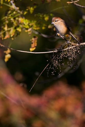 20081120-butcherbird