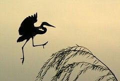 the heron dance (philliefan99) Tags: tree nature birds silhouette washingtondc districtofcolumbia nationalmall dcist weepingwillow greatblueheron constitutiongardens ardeaherodias pfogold ngtdc