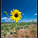 Wild Sunflower by jimgoldstein
