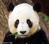 A bit of boo on the side please (somesai) Tags: animal animals panda endangered pandas abigfave