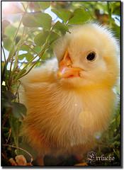 Pollito supersticioso (Errlucho) Tags: chile naturaleza ave pollo trbol pollito maip ar1 errlucho superticin