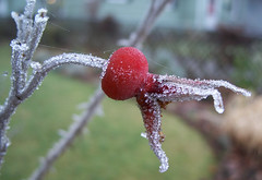 Rose hip in frost