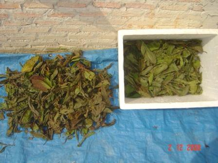 Kratom  choose good leafes quality picture photo bild