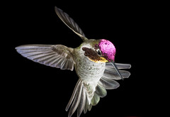 male_annas_hummingbird6 (patspacific1) Tags: bird highspeedphotography maleannashummingbird