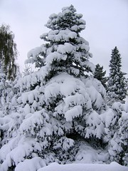 Fir under Snow (c-h-l) Tags: schnee winter white snow cold tree frost fir baum tanne weis wintereinbruch bej mywinners ubej