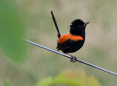 RED-BACKED FAIRY-WREN (petefeats) Tags: nature birds brisbane qld redbackedfairywren oxleycommon