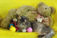 I Think I will Play With This One!! (KrazyBoutCats) Tags: cats pets animals kittens felines cattoys friendsofzeusphoebe catswithbears