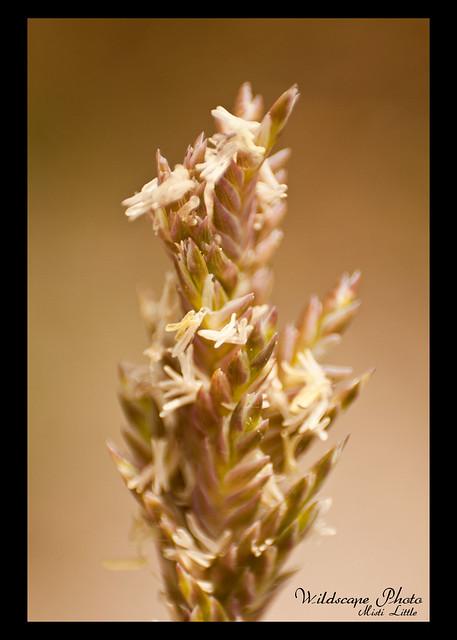 salt grass 2