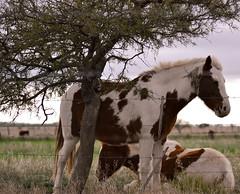 petisos (Mnica Etcheverry) Tags: light horses art argentina arbol caballos photo nikon day dia campo animales 2011 petisos