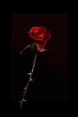 Beware Beauty ! (Robstorm Photography) Tags: light red black flower colour art beautiful beauty rose blackbackground danger canon garden dark point photography stem shropshire fineart highcontrast sharp awsome stunning spike 5d thorn mark2 oswestry 5dmark2 robstormphotography