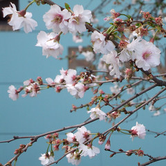 Blomstring (dese) Tags: greatbritain england london primavera thames spring britishisles blossom britain southbank february blüte printemps vangogh blomster februar frühling vår wiosna forår blomar blomstring blütezeit blomstrar grosbritannien desefoto