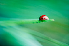 Mariquita (Victoriano) Tags: life wallpaper macro green nature bug bokeh background wheat daisy ladybird alive victoriano coccinelle flogr clorofile wearepaisaje