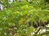 竹山鎮中和里救人老茄苳樹DSCN6046