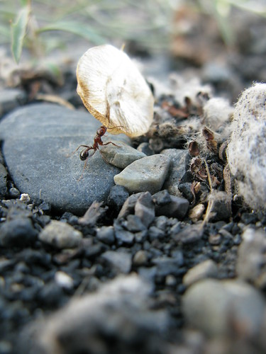 Mighty ant near Kuitun, Xinjiang Province, China