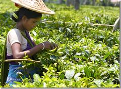 Pregnancy is no Excuse! (Shabbir Ferdous) Tags: photographer tea greentea sylhet bangladesh teaplantation bangladeshi tealeaf pregnantwoman srimongal srimangal teapicking canoneosrebelxti shabbirferdous womanpickingtea jamesfinlays sigmazoomtelephoto70300mmf456apodgmacro wwwshabbirferdouscom shabbirferdouscom