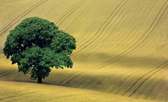 Tree in a Field (wentloog) Tags: uk tree green field yellow wales canon landscape eos interestingness gallery britain cymru cardiff explore 5d agriculture m4 wfc gwent canoneos5d 100400 wentloog welshflickrcymru favemegroup10 stevegarrington world100f ef100400f45l michaelstoneyfedw