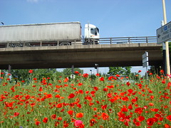Poppies under the highway-31