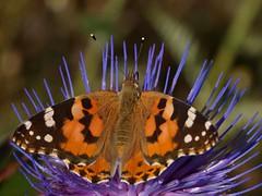 Vanessa cardui (diegocon1964) Tags: vanessa lepidoptera vanessacardui nymphalidae papilionoidea nymphalinae nymphalini