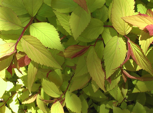 Burning Bush Leaves