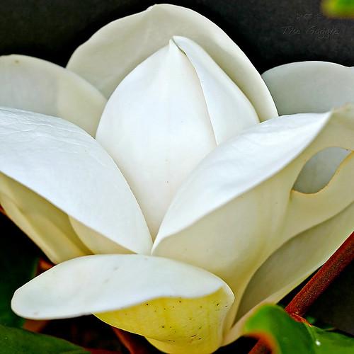 S. Magnolia