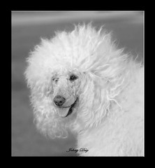 Just being Holly Wood (Johny Day) Tags: holly hollywood bestinshow standardpoodle blueribbonwinner spcr oneofmybest canicheroyal abigfave johnyday impressedbeauty diamondclassphotographer johnyday beautifulldog bestlookingdog