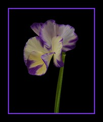 Rebecca Viola (Vanda's Pictures) Tags: white flower purple rebecca cream petal bloom vanda viola ourgarden scent onblack