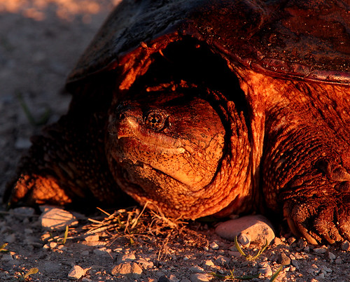Michigan's Common Snapping Turtle | Michigan in Pictures