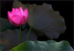 Lotus Flower IMG_5214 (Bahman Farzad) Tags: flower macro yoga peace lotus relaxing peaceful meditation therapy   lotusflower lotuspetal lotuspetals    lotusflowerlotusflowerslotusflowerredblossomsacredcambodiathailandchinaindiahindubudabudhatattoospiritualtruthdevineelegantteacherinspirationinspirationalpeacepeacefulpeacefulnessheavenlytherapisttherapytattosoulfulsoulful lotusflowerpetals lotusflowerpetal