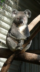 Charming Koala (End of Level Boss) Tags: tree gum sydney australian australia koala nsw lou 2008  coala    koaala     koal      hayopngkoala  gingaithucchu