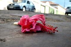 """""""A minha herana pra voc,  uma flor... (Fabiana Velso) Tags: flor rosa hibiscus rua cho pedras frente foco duetos frenteafrente fabianavelso"""