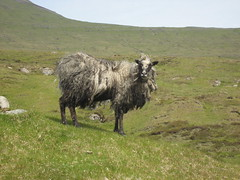 Posing sheep (Solinde) Tags: grey sheep fluffy faroeislands froyar faeroeislands vgar