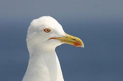 Gabbiano (ninin 50) Tags: animals toscana visualart gabbiano naturalmente ninin