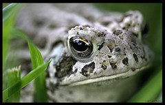 Midas Touch (Little Laddie) Tags: green eye nature grass animal frog toad soc midas naturesfinest impressedbeauty
