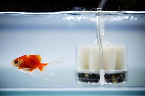 Có phải cá vàng chỉ có thể nhớ được những gì xảy ra trong vòng 3 giây trước?