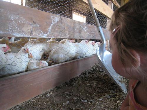 Chickens at Grandma's