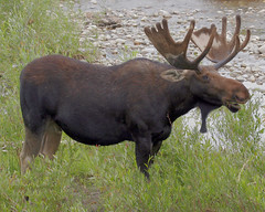 Bull Moose - Grand Teton National Park (Dave Stiles) Tags: moose snakeriver tetons bullmoose gtnp moosejunction