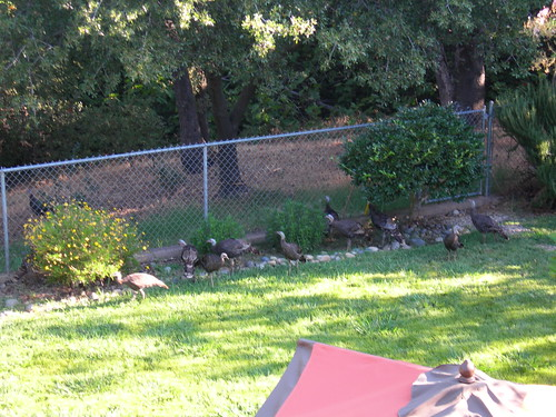 Turkeys0808 008